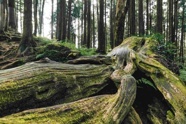 阿里山行程規劃中能夠觀賞到千年歷史的紅檜神木