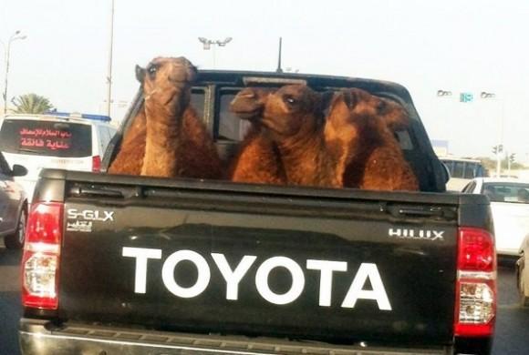 Camellos (590x397)