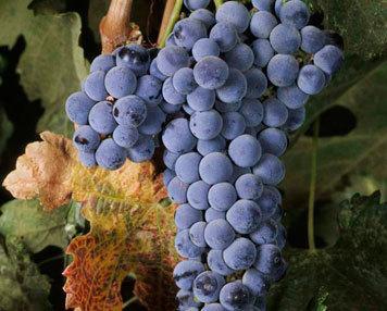 Картинки по запросу виноград мерло