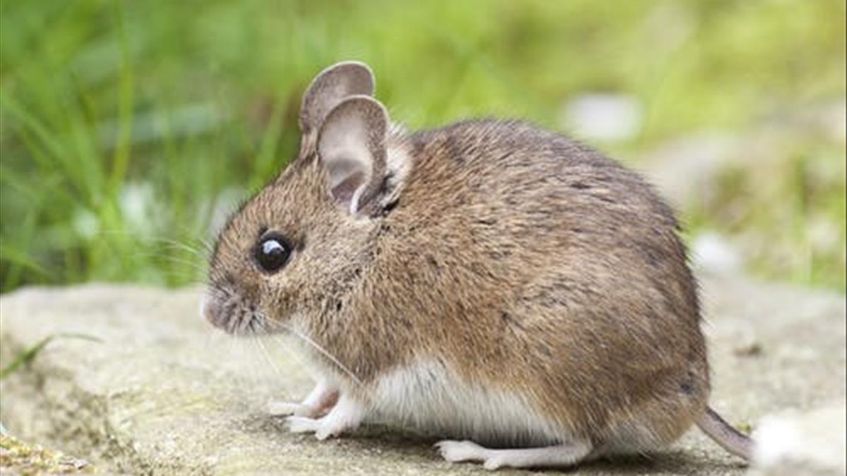 Cùng số đề Việt giải mã nằm mơ thấy con chuột
