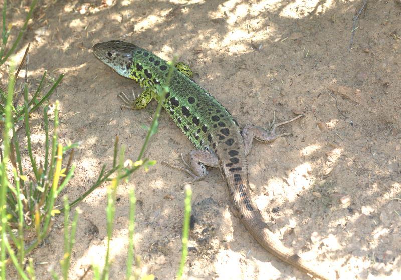 Schreiber's green lizard_rsz.jpg