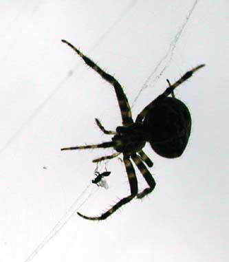 Spiders are often misunderstood and killed
