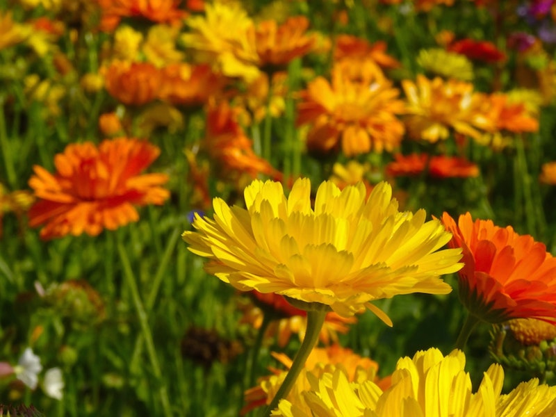 orange and yellow marigolds with a yellow marigold in focus