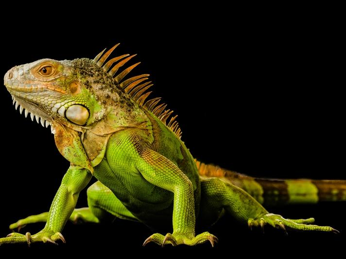 Iguanas are long-lived reptiles that need specialized care.