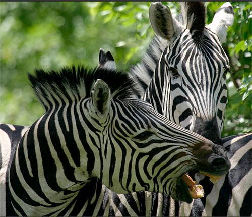 zebras-bushways.jpg