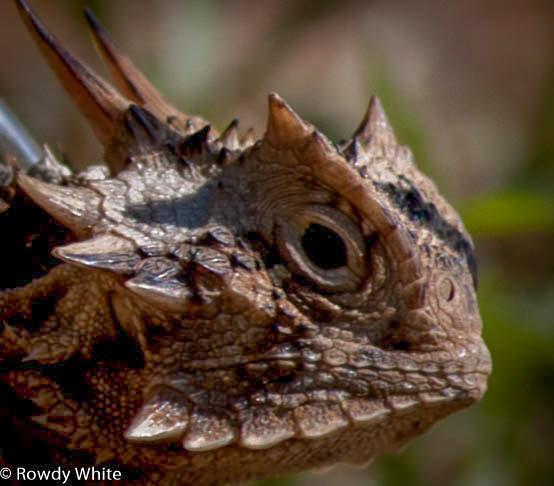 Image result for texas horned lizard