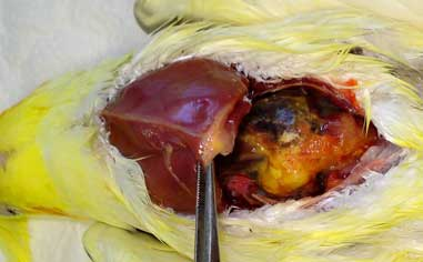 Liver abscess in a cockatiel