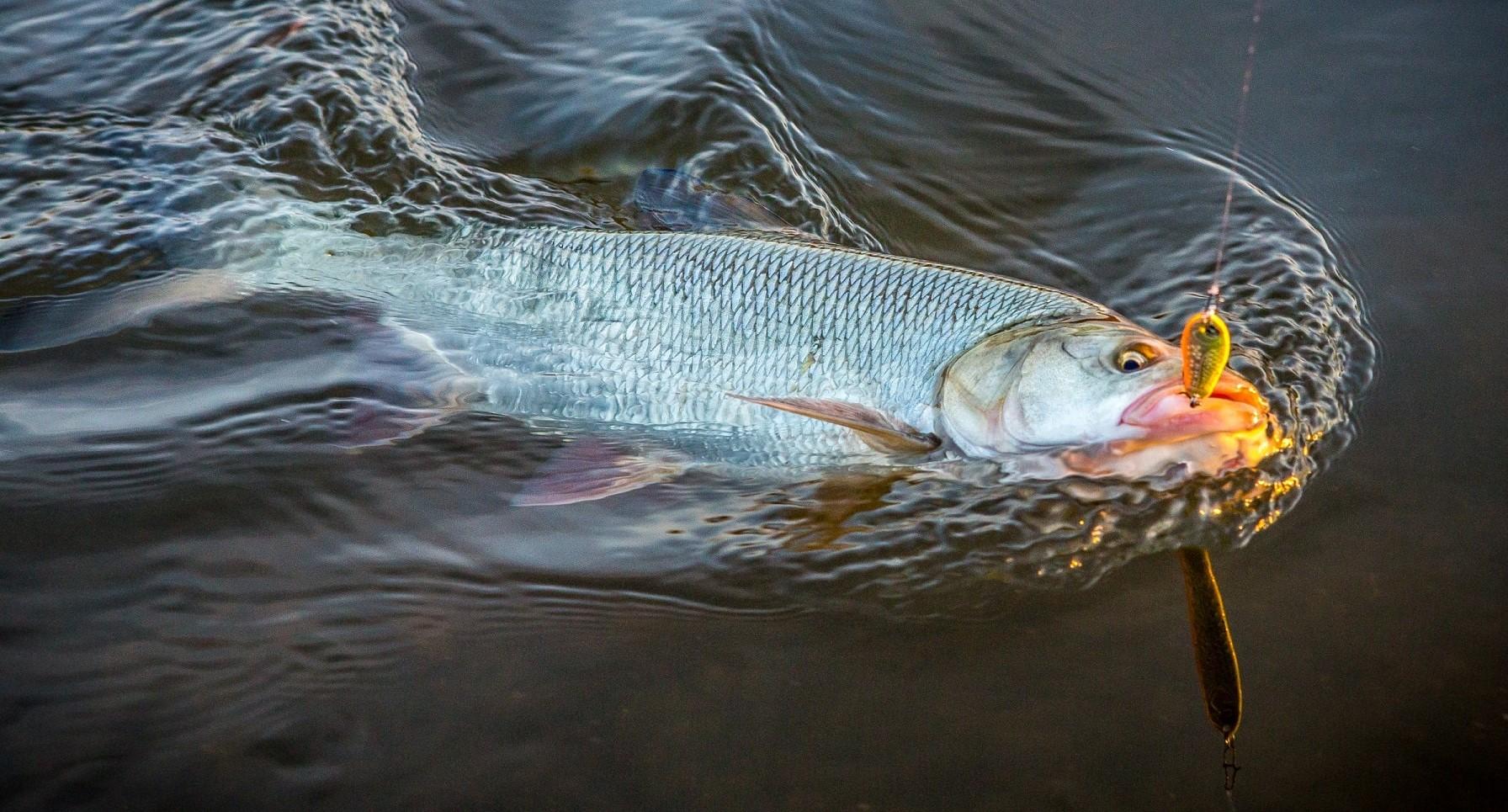 Ловля жереха: советы для успешной рыбалки на спиннинг
