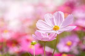 Macintosh HD:Users:sarinavetterli:Desktop:Plant and Granola Sale:Plant Images:Cosmos pink.jpg