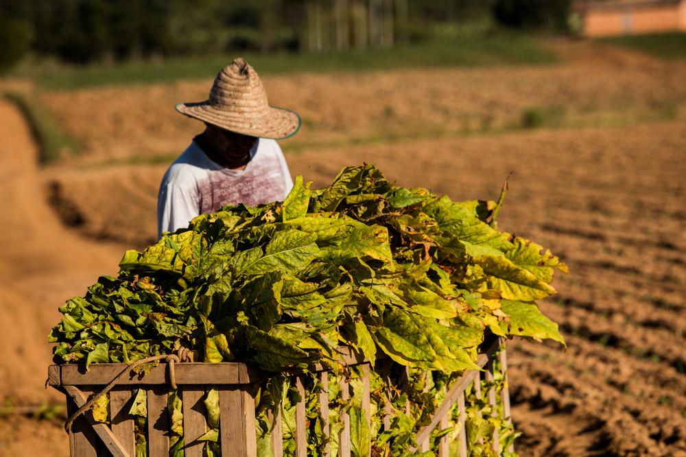 Região Sul detém monopólio de mais de 90% da produção nacional de tabaco. (Fonte: Shutterstock)