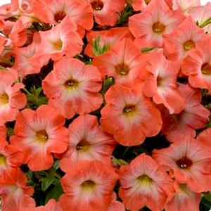 Image result for petunia ray salmon