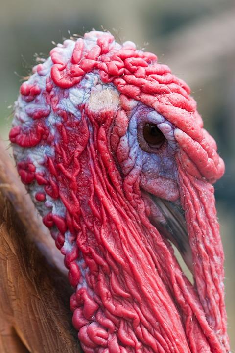 Turkey, Bird, Domestic, Poultry, Animal, Head, Face