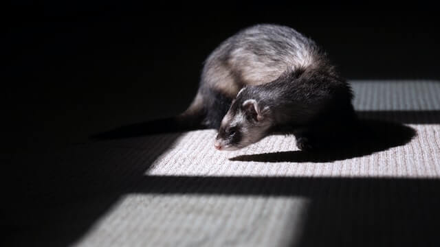 Can a ferret kill a snake?