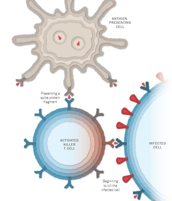 Resposta imune celular da vacina de Oxford