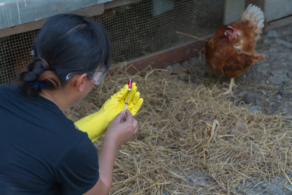 galinha sendo medicada
