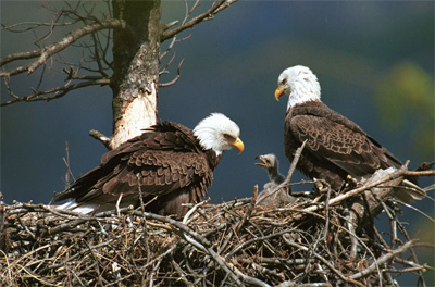 Image result for bald eagle habitat