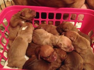 Image result for red nose pitbull puppies