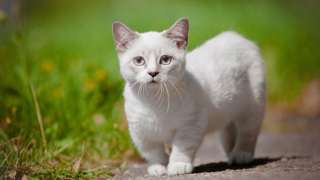 Порода кошек Манчкин: особенности породы и рекомендации по уходу.