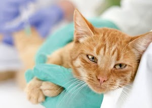 Cat with fip when to euthanize