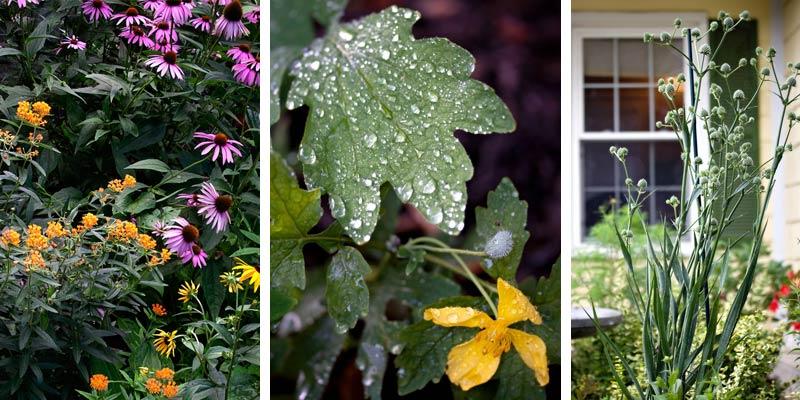 butterfly-weed-purple-coneflowers-celadine-poppy-rattlesnake-plant