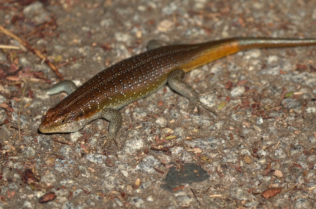 rainbow skink male (Copy).jpg