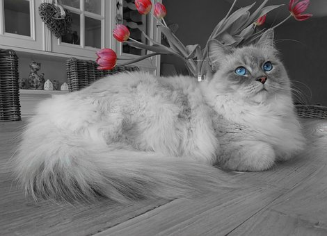The Ragdoll Cats: All About Their Breed Overview
