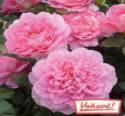 Růže Borneo Odore® - voňavá 1ks | STARKL ESHOP