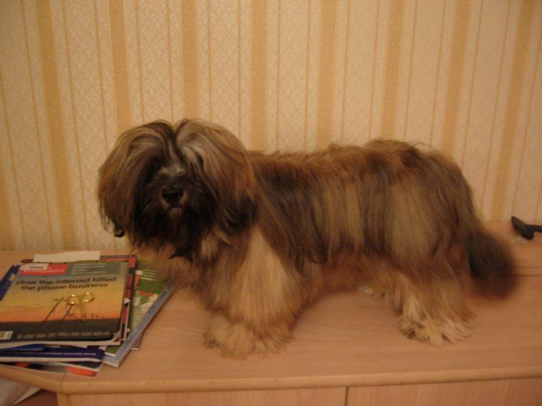 C:\Users\DELL\Downloads\Lhasa_Apso_male.jpg