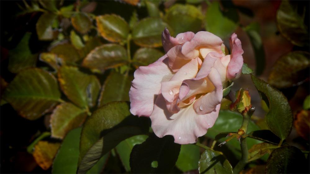 Warthog Rose.jpg