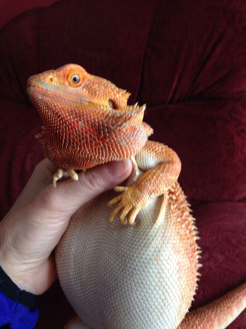Obese Bearded Dragon