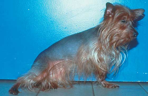 Color dilution alopecia in a 3-year-old, female Yorkshire Terrier