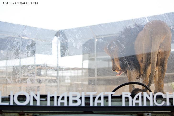 Lion Habitat Ranch Las Vegas with MGM Lions.