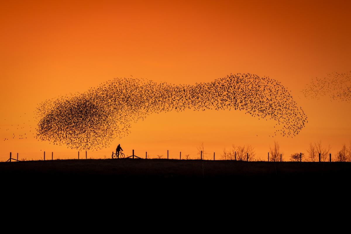 starlings, murmuration