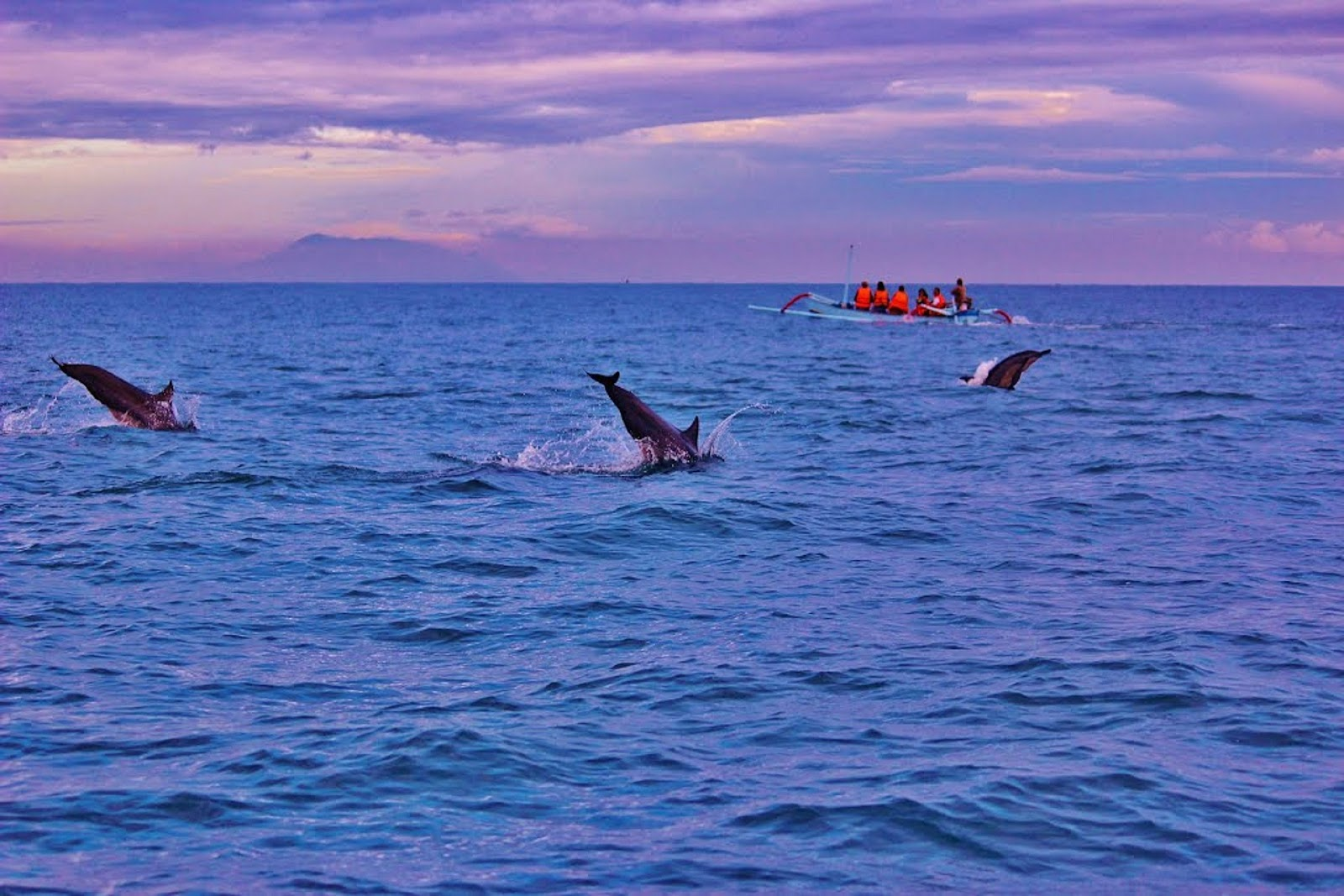 lovina beach bali ocean three dolphins jumping out of blue water and tourist boat tour nearby during sunrise indonesia
