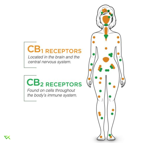 Infographic CB1 and CB2 receptors locations