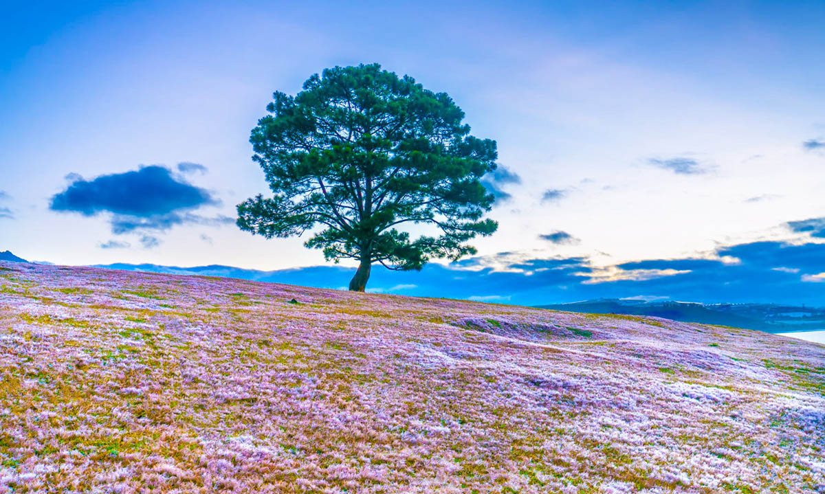 Cây thông cô đơn giữa ngọn đồi cỏ hồng Đà Lạt
