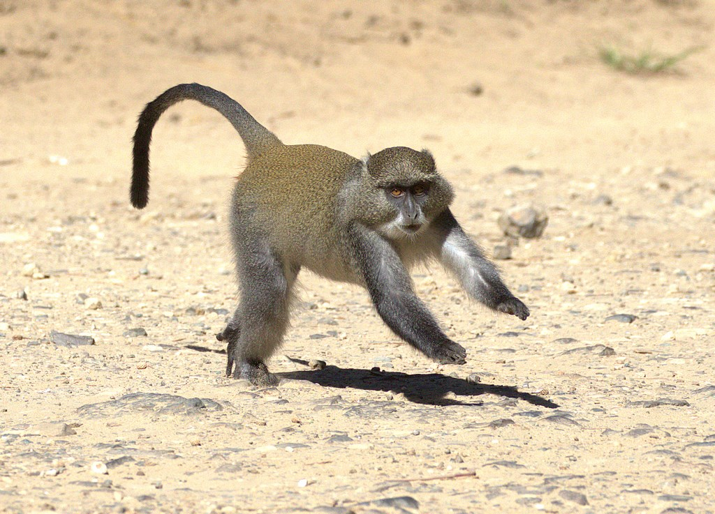 Syke's monkey 2 (Copy).jpg