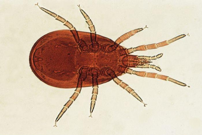 Dermanyssus galinae