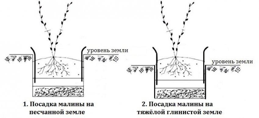 Уровень посадки малины
