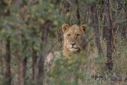 Leão jovem deitado com juba começando a nascer.
