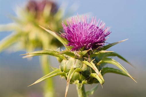 https://media.istockphoto.com/photos/milk-thistle-blossom-silybum-marianum-in-full-bloom-picture-id471073841?b=1&k=6&m=471073841&s=170667a&w=0&h=r3pi5dnPZKbYOrpgCszxjv4x_Eo-WcY95c_froi2Sho=