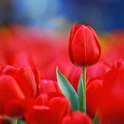 К чему снятся красные тюльпаны?