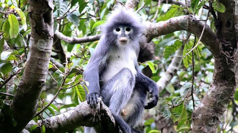 The Popa langur, a newly discovered primate species in Myanmar that is critically endangered.