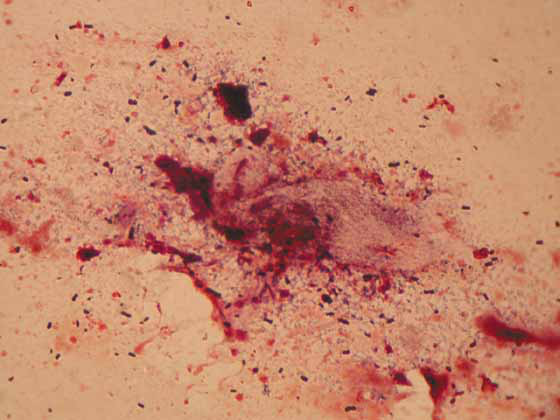 Cacatua tenuirostris