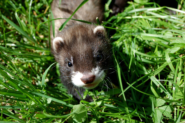 How To Get Rid of Fleas on Ferrets?