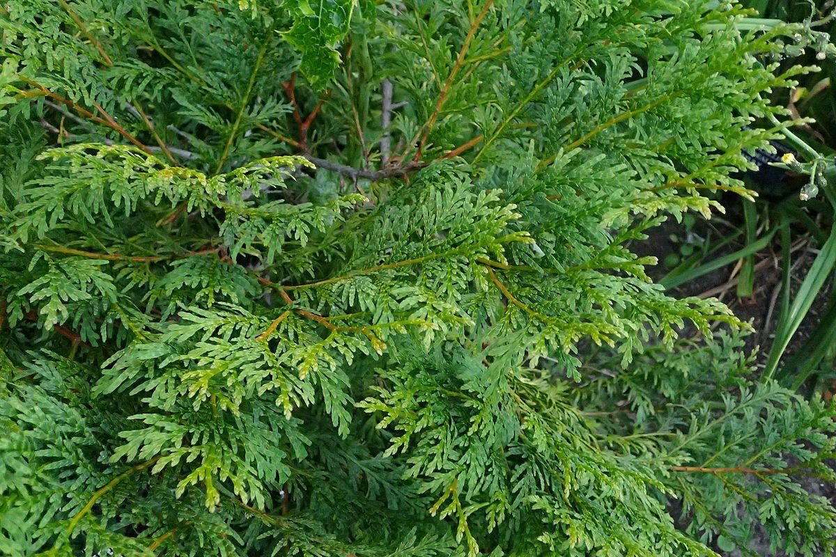 Lá cây Bách Xanh