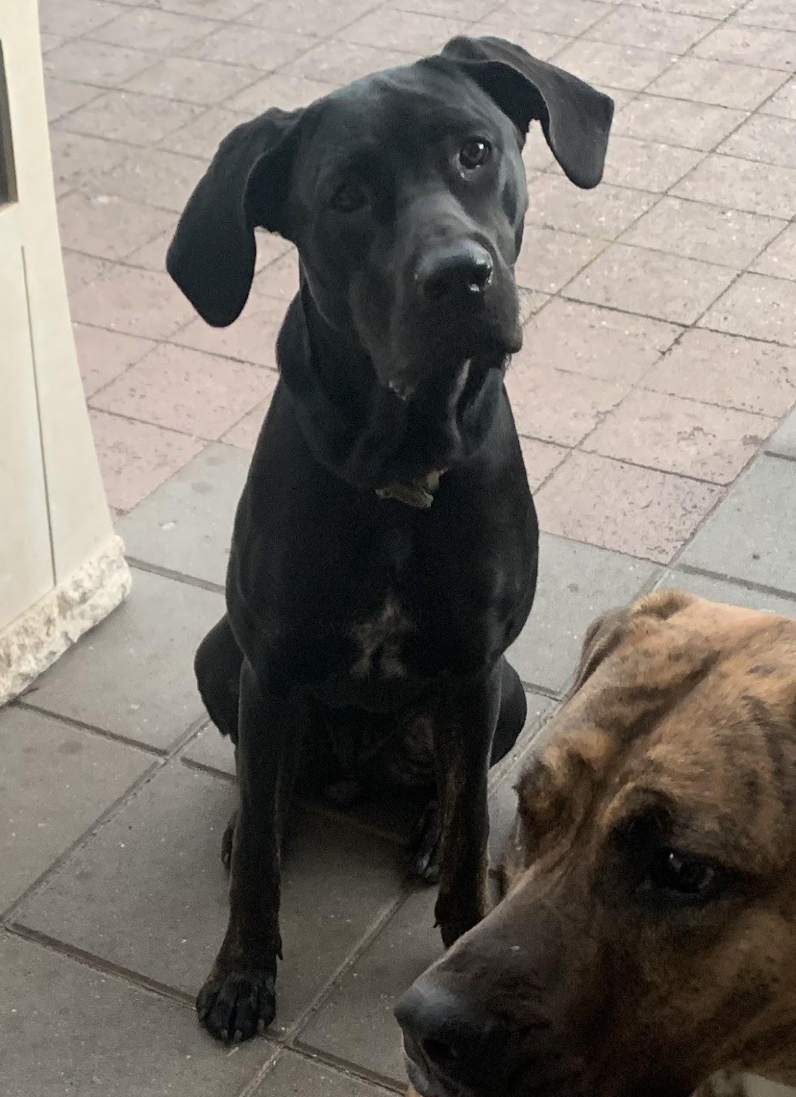 Dog mastino napolitano x sabian defence dog x cane corso