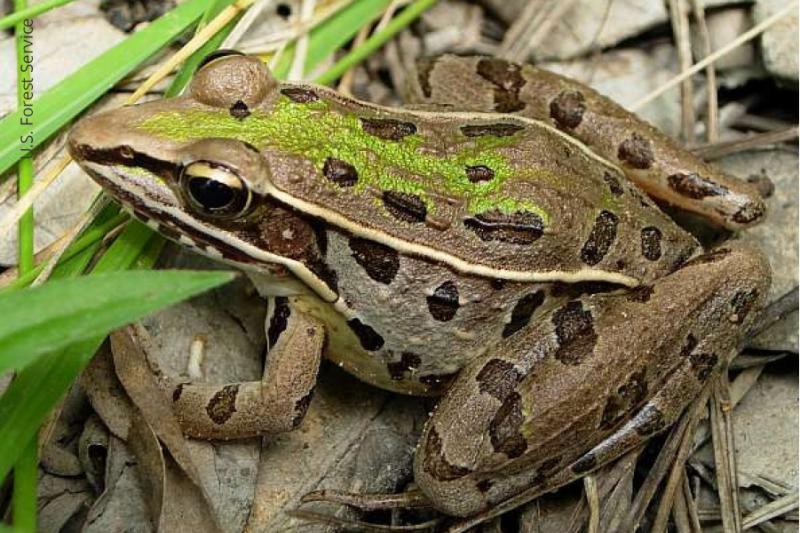 https://www.wildlifedepartment.com/sites/default/files/Southern%20Leopard%20Frog_USFS.jpg