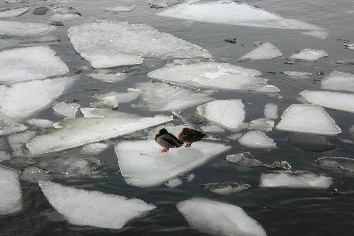 Enten im eisigen Hafen von Stockholm