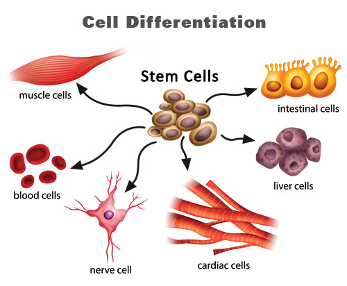 ollin science 1a: should we use embryonic stem cells?, Human Body
